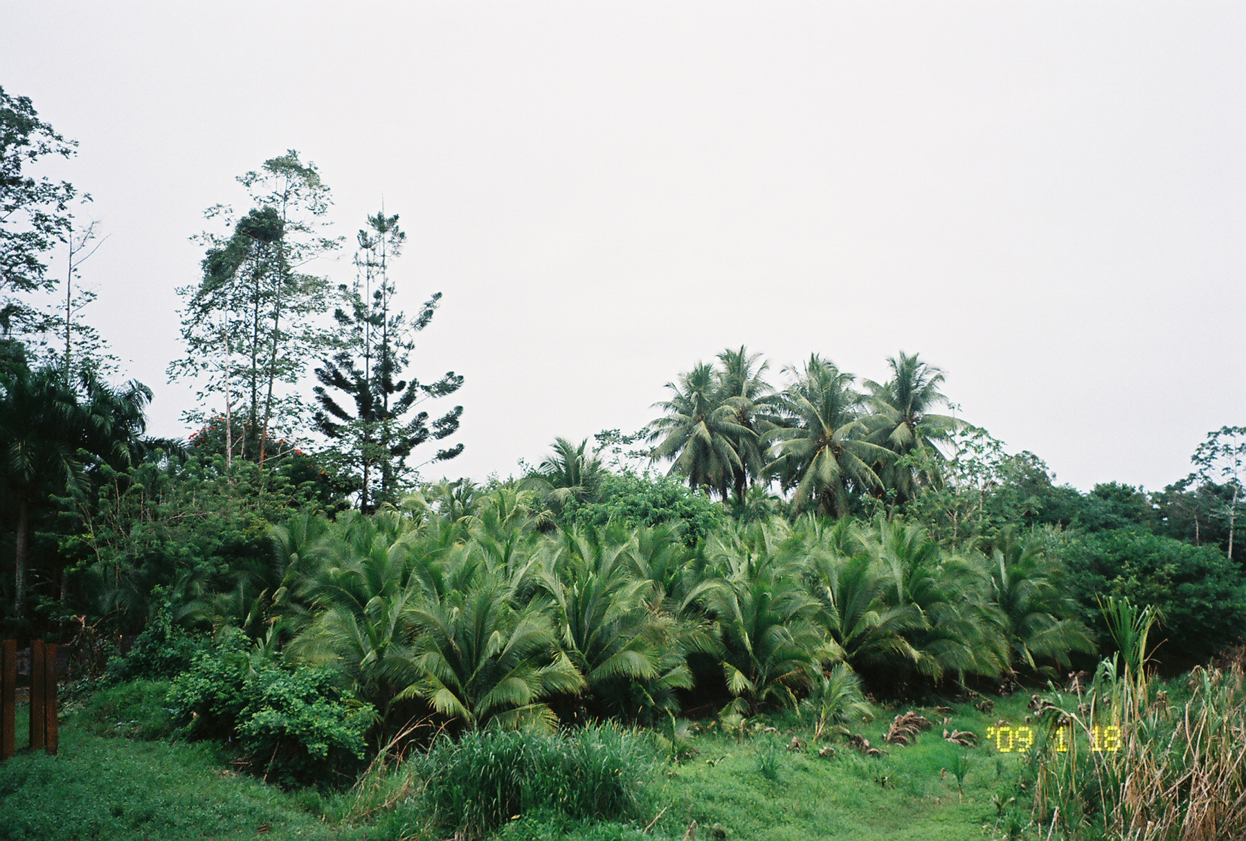 A grove of coconut palms and royal palms on the Costa Rican border