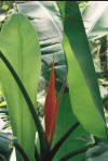 Heliconia about to bloom